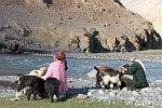 Schafe und Ziegen kommen am Abend von der Weide zurück